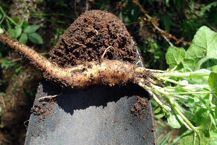 корень брионии